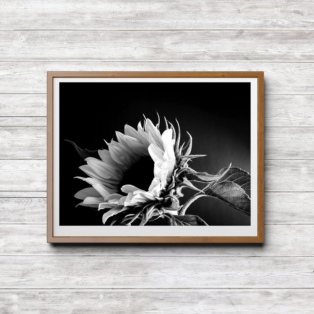 sonnenblume schwarz wei fotografie sofort poster download. Black Bedroom Furniture Sets. Home Design Ideas