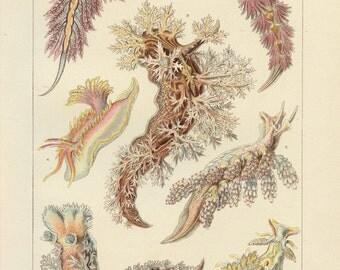 Vintage 1907 Book Plate — Sea Slugs