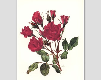 "Rose Decor, Vintage Flower Print, 1960s Red Room Wall Art, Botanical Illustration --- ""Holstein"" No. 14"