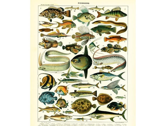 1897 poissons de mer illustration larousse dictionnaire - Grand poisson de mer ...