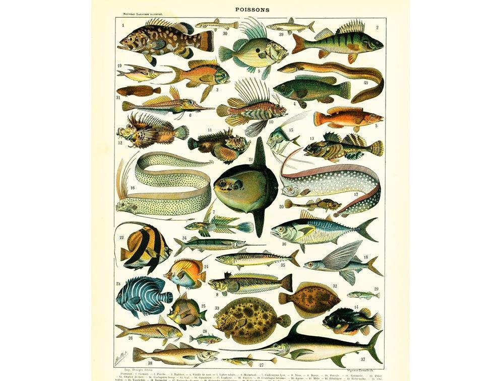 1897 poissons de mer illustration larousse dictionnaire - Grand poisson de mer ...