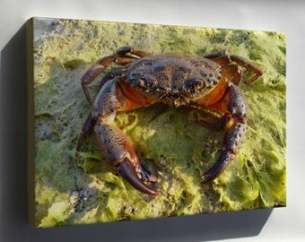 Canvas 16x24; Yellow Crab Eriphia Verrucosa Old Male, Sometimes Called The Warty Crab Or Yellow Crab