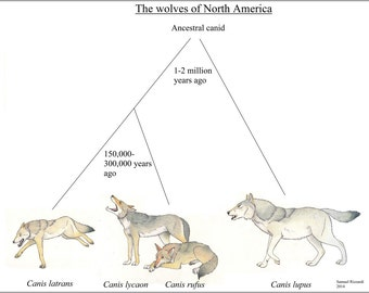 16x24 Poster; Evolutionary Chart Of North American Canis, Wolf Wolves