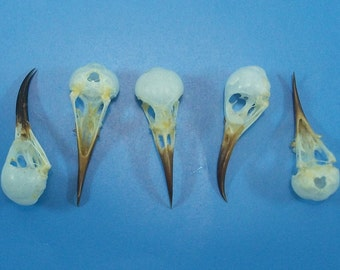 Taxidermy real bird skull lots 5 pcs