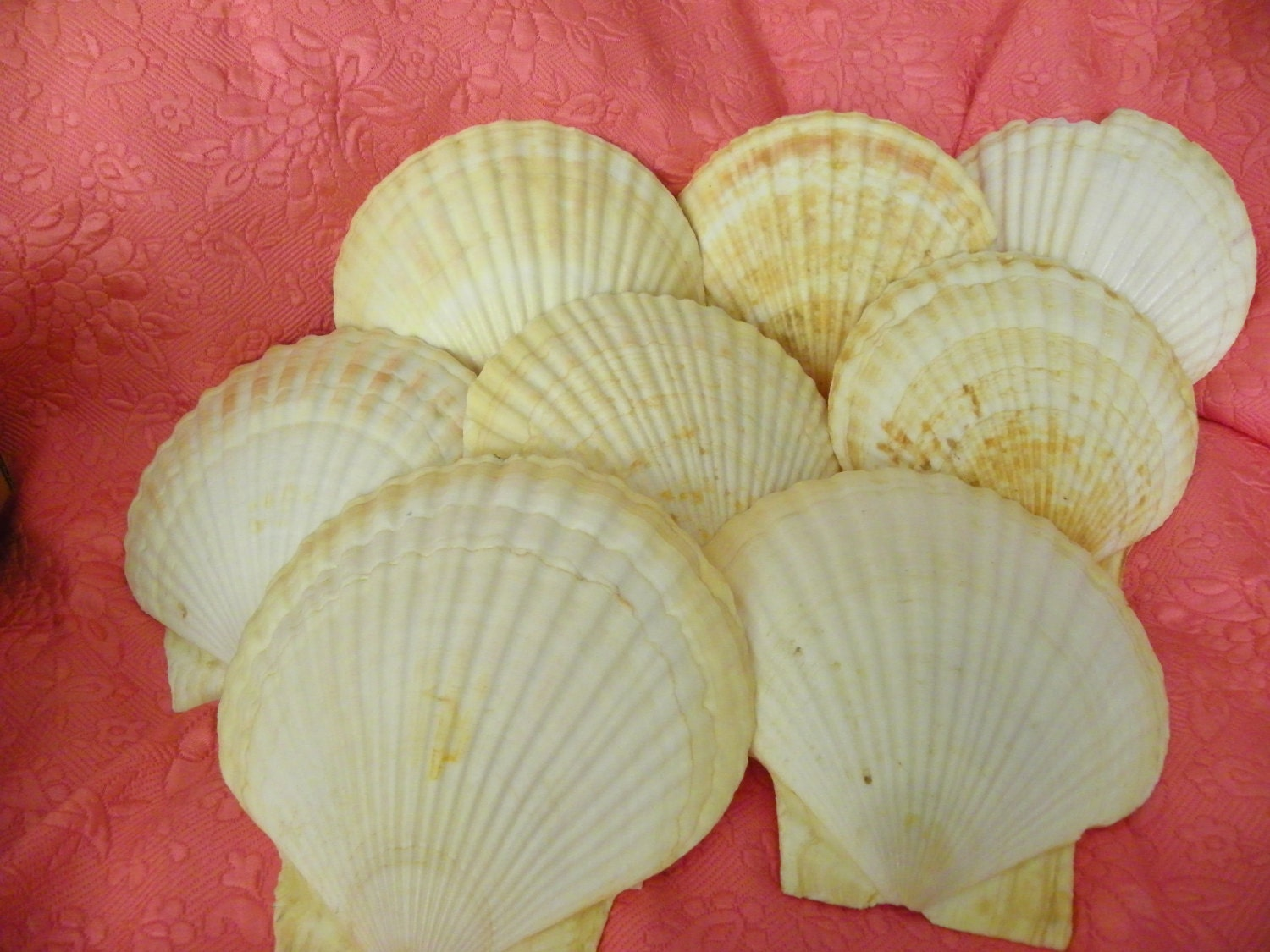 Extra large scallop shells lot of 8 perfect for crafts - Scallop shells for crafts ...