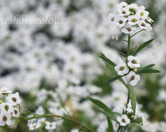 Field of small pretty white flowers - Nature photography print
