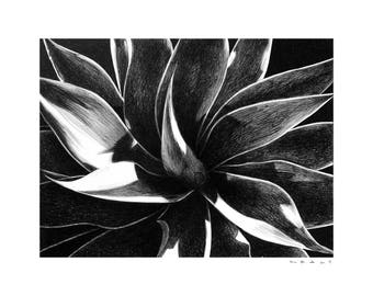 Black and White Drawing Print – Century Plant