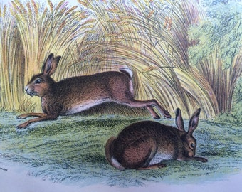 1896 Common Hare Antique Print, Mounted, Matted & Ready to Frame