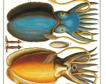 Blue and Yellow Squids - framable print -  fantastical creatures Albertus Seba , many sizes - ready to gift, frame