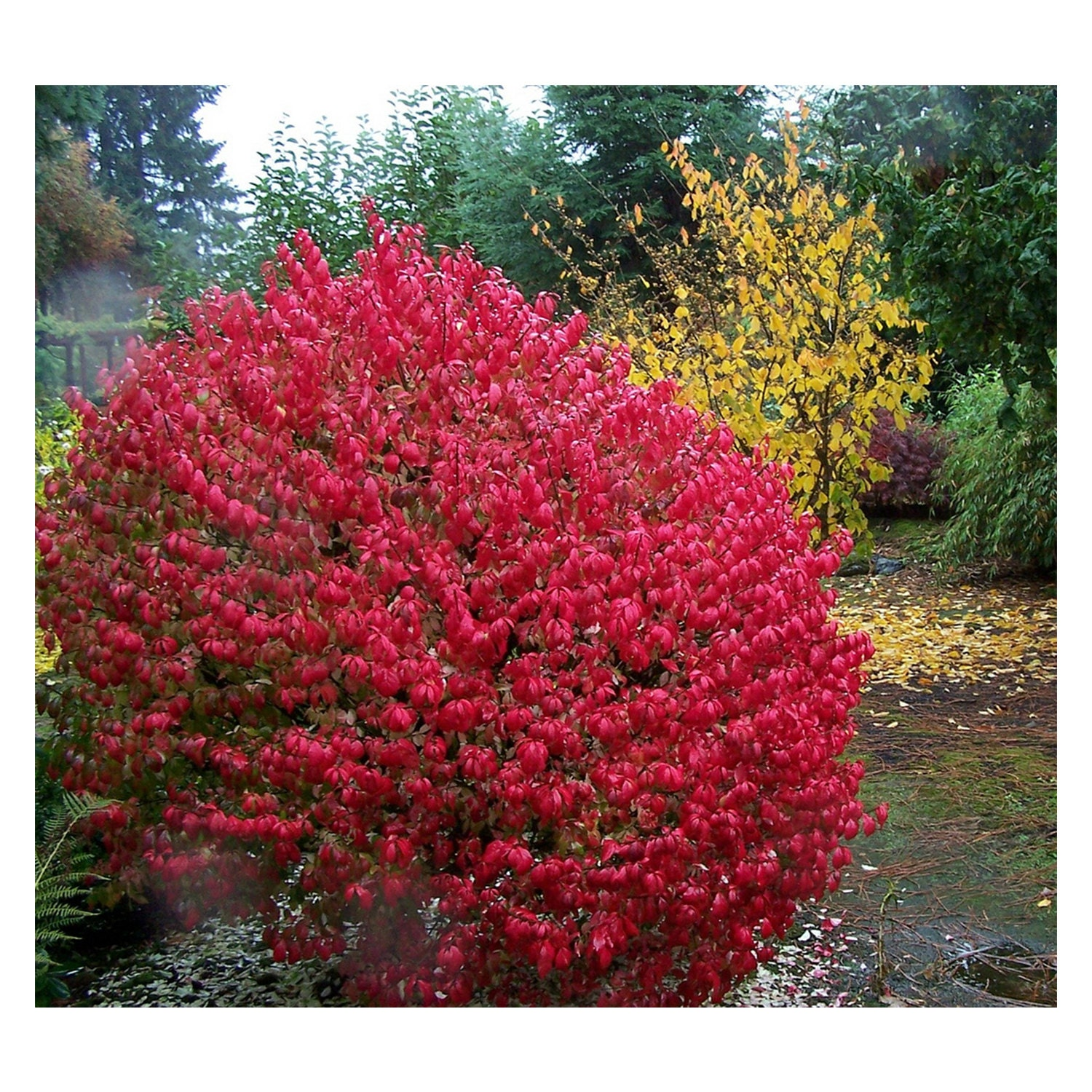 Unique Red Bushes for Landscaping