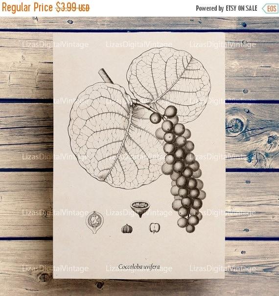50% OFF Botanical art, Wall art printable, Botanical illustration, Printable botanical art, Antique print, Large botanical print, A3 PNG Jpg