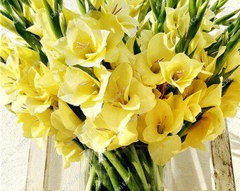 Gladiolus Bulbs, (not seeds) Perennial Flower 5 Bulbs (item No: 1)