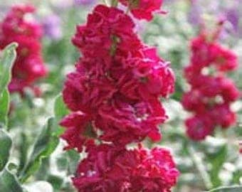 Ten Week Stock Crimson Flower Seeds/Matthiola Incana/Annual     50+