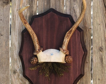 Mounted Deer Antler Taxidermy with Dried Accents
