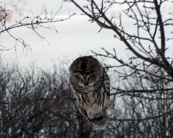 "Barred Owl Canvas Print 48""x36"""