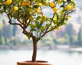 Meyer Lemon Tree 3-4 Foot