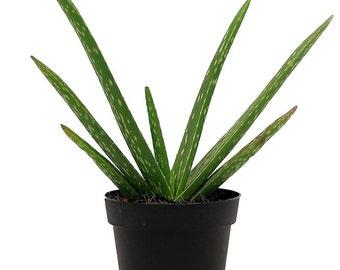 Aloe Vera Sabila Live Plant