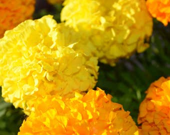 Marigold Flowers on Canvas, Orange Yellow Marigolds, Fine Art Photography, Home Decor, Wall Art, Canvas Gallery Wrap