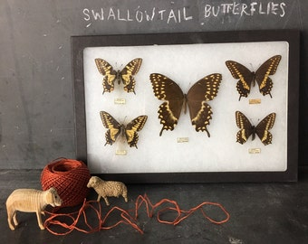 Swallowtail Butterfly Specimen Collection
