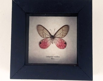 Real butterfly framed - Cithaerias merolina