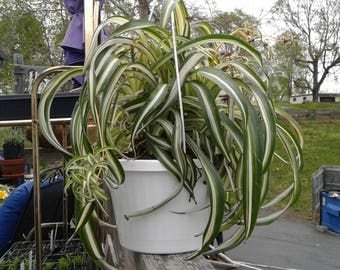 Curly Spider plant, 2 plants