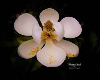 Southern Magnolia Color Print