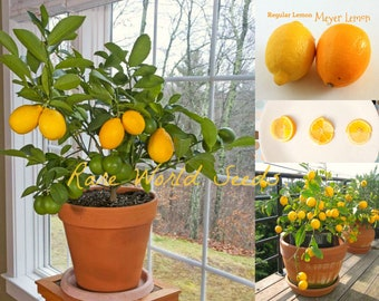 DWARF Lemon 'Meyer' (Citrus limon) indoor outdoor GROWS TO 1-3' in pot! Seeds.