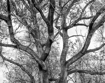 Oak lines - a black and white photograph, Monochrome oak tree photograph, Oak tree print, Black and white photographic print