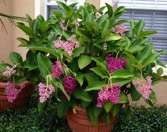 Malaysian Orchid - Medinilla Myriantha - LIVE PLANT - Malaysian Grapes