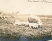 Vintage Photo 1912 Man Blur Runs from Pure Chester Whites PIGS Lockwood Farm rppc