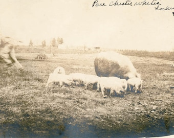 Vintage Photo 1912 Man Blur Runs from Pure Chester Whites PIGS Lockwood Farm rppc
