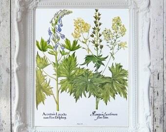 "Wolfsbane/Wild Delphinium Book Plate 14 7/8"" x 11 1/2"" ORIGINAL Book Plate Besler Florilegium"