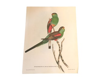 Old Paradise Parrot Lithograph, J Gould Print, Vintage Tropical Bird, Beach House Decor, Antique Art, Psephotus Pulcherrimus