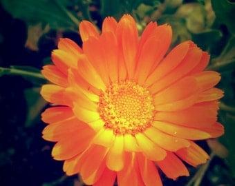 Calendula Floral Water/Hydrosol