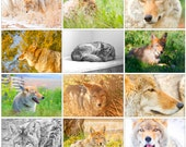 2017 Coyote Calendar. Full color photographs. Gorgeous heavy cardstock. Printed in the USA.