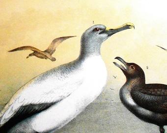 Large Bird Print, Vintage Chromolithograph, Albatross, Skua, vintage art, wall decor