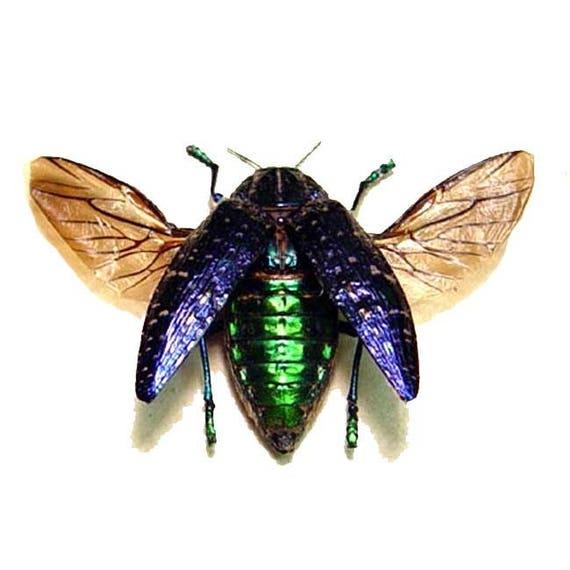 Real Purple Gem Jewel Beetle Conservation Display 6334