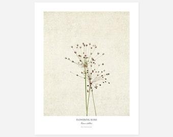 Flowering Rush Original Art Print - Botanical Wall Art - Flower Poster - Large Botanical Print