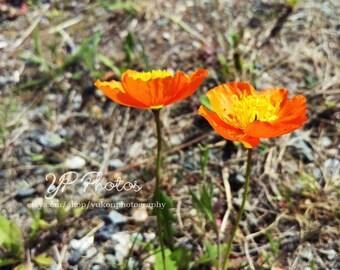 Poppy Photo Print