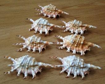 Murex Seashells - vintage cruelty free beautiful ocean