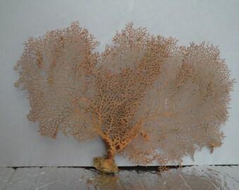 "12.2"" x 8"" Pacifigorgia Red  Sea Fan Seashells Reef Coral"