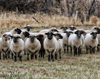 Sheep Photo Sheep Art Farmhouse Decor