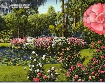 Cypress Gardens, Florida, Camellias - Linen Postcard - Postcard - Unused (R)