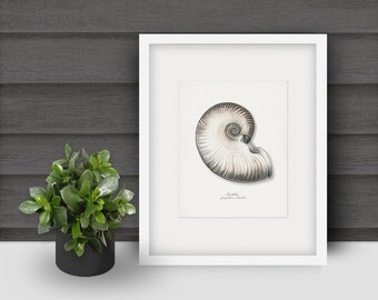 Coastal Decor Antique Nautilus Sea Shell Giclee Art Print