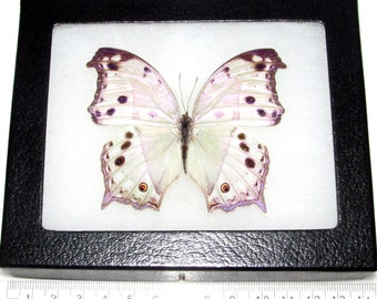 REAL framed butterfly African Salamas parhassus mother of pearl