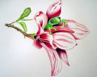Magnolia Frog - original artwork, coloured pencil on watercolour paper, in acid free matt board
