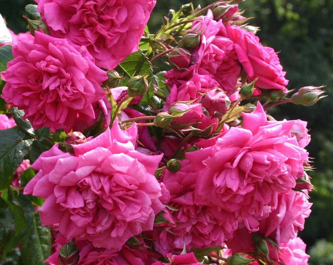 Laguna ™ Rose Bush Fragrant Pink Climbing Rose Plant Own Root In 5 Inch Deep Root Pot Lush Double Flowers - Spring Shipping