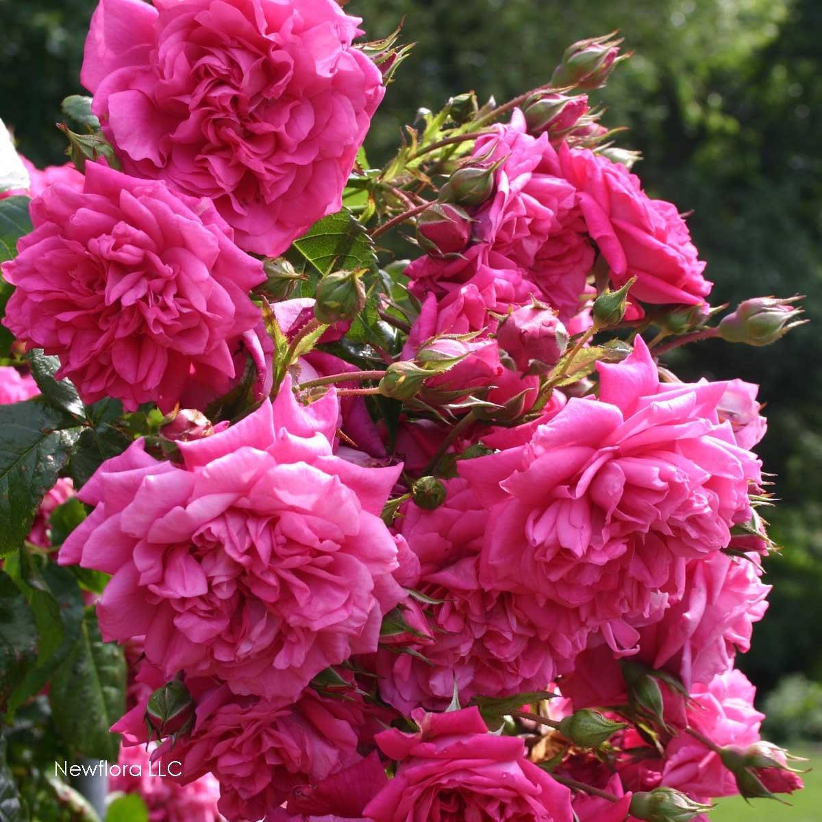 laguna rose bush fragrant pink climbing rose plant own. Black Bedroom Furniture Sets. Home Design Ideas