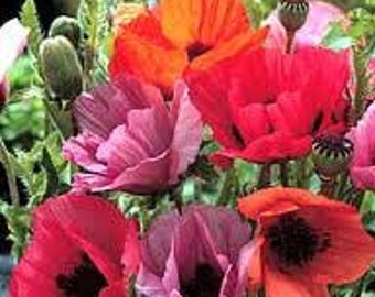 APO)~FRUIT PUNCH Mix Poppy~Seed!!~~~~~~2' Tall Orientals!