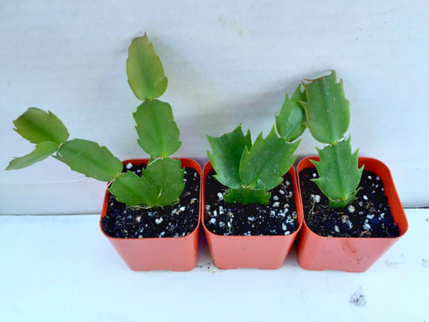 Rooted Christmas Cactus Cutting, Christmas Schlumbergera Variety ...